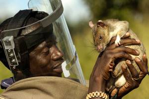 8_giant-African-pouched-rat